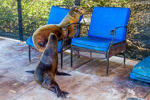 Zonnende zeeleeuwen