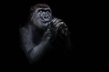 beleuchtetes Gorillaweibchen, das die Hände betend in der Nähe ihres Gesichts hält, schaut aufmerksa von Michael Semenov