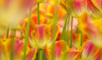 Tulp,Keukenhof van Marco Liberto