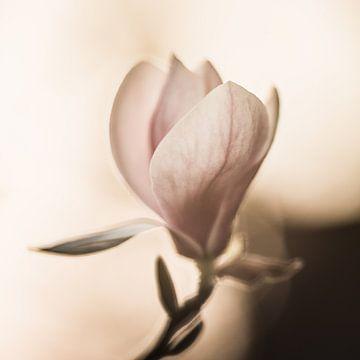 De lichtheid van de magnolia van Regina Steudte | photoGina