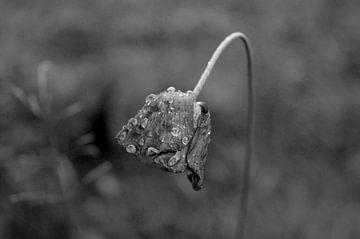 Träne einer Blume  von Gera Wijlens