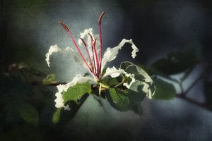 Witte bloem met rode meeldraden van