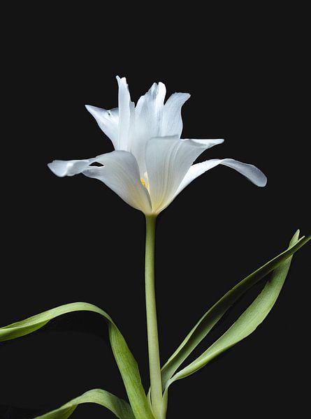 Weiße Tulpe von Ineke VJ