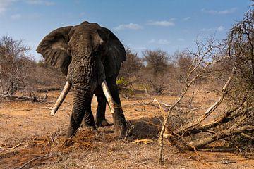 Elephant with big tuskers sur Caroline Piek