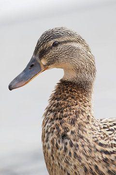 Porträt einer wilden Ente