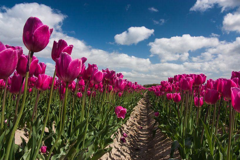 paars tulpenveld van Ilya Korzelius