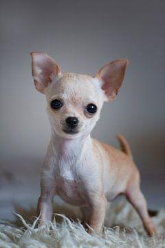 chihuahua puppy von emmie van der knokke