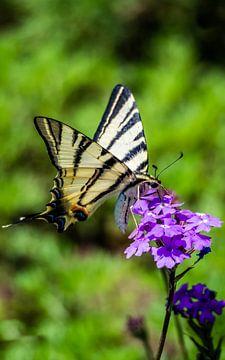 Vlinder van Stijn Cleynhens