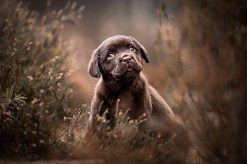 Labrador Retriever-Hundewelpe im Moor moorig von Lotte van Alderen