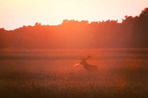 Burlend edelhert in de ondergaande zon