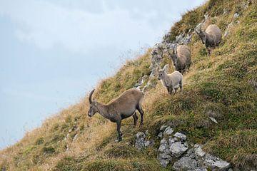 Steinböcke ( Capra ibex ), kleine Gruppe aus Steingeißen mit ihrem Nachwuchs, wildlife, Europa. von wunderbare Erde