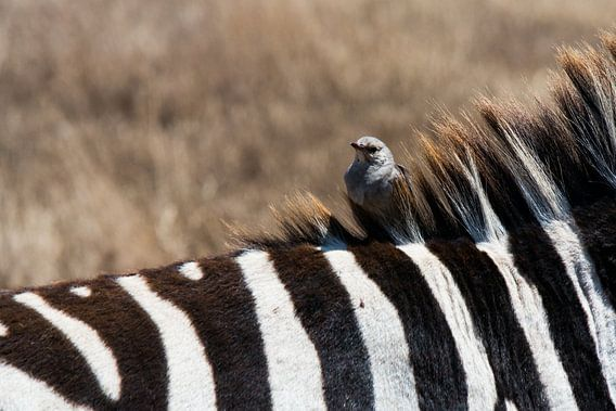 Zebra x bird - Tanzania