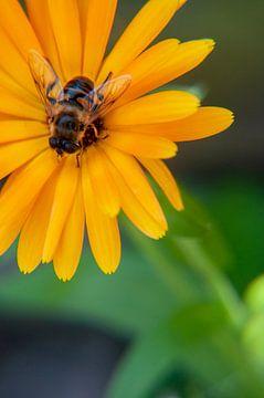 Biene in der Blume von zippora wiese