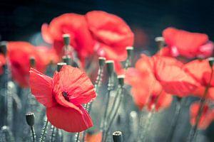 Klaprozen in bloei van