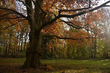 Hêtre rouge avec des couleurs d'automne dans le Land van Ooit. sur Monique Pulles