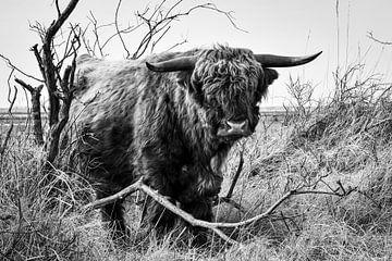 Schotse hooglander in natuurgebied van bart hartman
