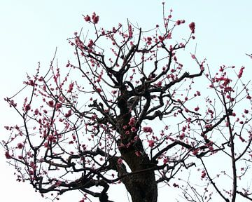 Plum Tree Blossom van Ioanna Stavrakaki