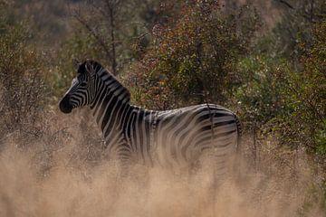 Zebra im Krügerpark von Sander Huizinga