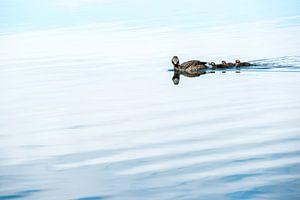 Eend met jongen zwemmend