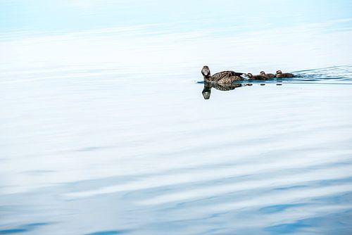 Eend met jongen zwemmend van Henk Verheyen