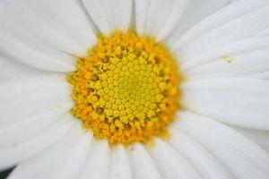 Bloemenknop van Paul Hinskens