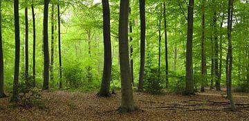 Beukenbos in het voorjaar van
