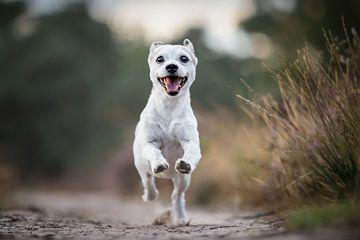 Mischlingshund, der fröhlich durchs Moor rennt von Lotte van Alderen