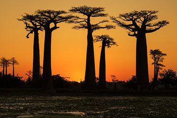 Baobab laan van Jan Tuns