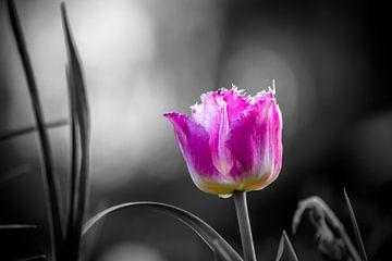 Tulpe schwarz-weiß von Frank Ketelaar