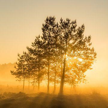 Baum im Sonnenschein mit Sonnenaufgang, Utrechtse Heuvelrug, Niederlande von Sjaak den Breeje