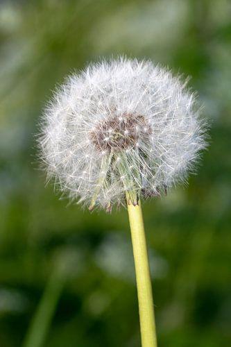 Pissenlit non fleuri sur Shirley Hill