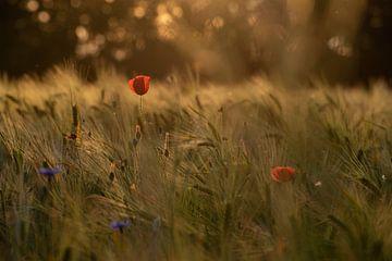 Klaproos bij zonsondergang van Susanne Alleman