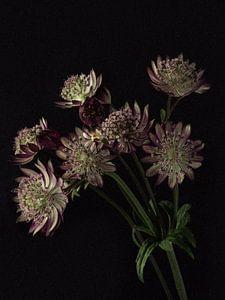 Bouquet de boutons violets de Zeeland sur Carine Belzon