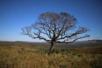 Amarula-Baum Südafrika von