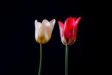 Hollandse tulpen sur Celina Dorrestein