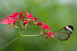 Glasvlinder, doorzichtige vlinder op bloem.