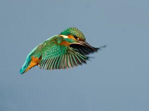 IJsvogel in vlucht van