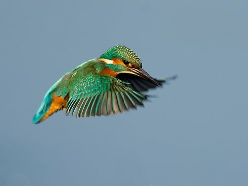 IJsvogel in vlucht von René Vos