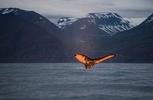 De ondergaande zon kleurt de staart van deze walvis prachtig oranje. van Koen Hoekemeijer