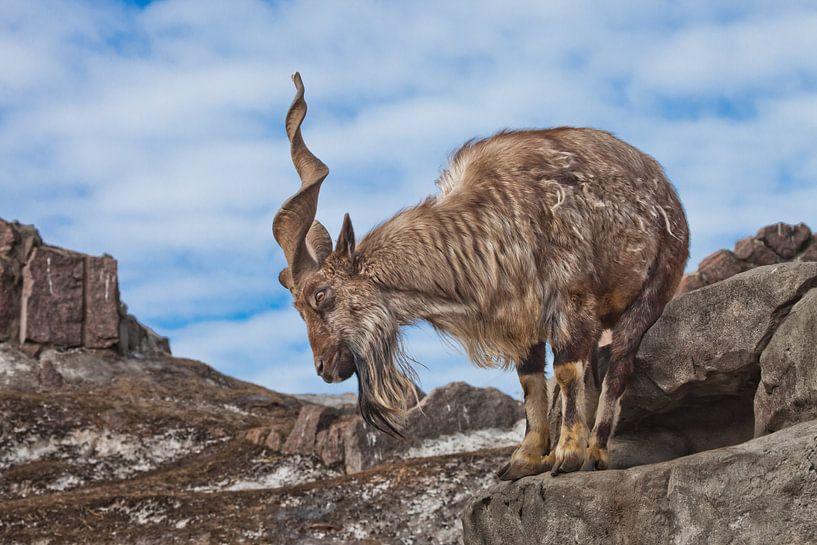 Eine Ziege mit großen Hörnern steht allein auf einem Felsen, einer Berglandschaft und dem Himmel. Al von Michael Semenov