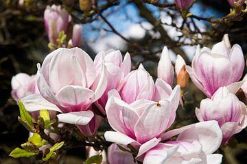 Magnolia in bloei van Peter Mensink