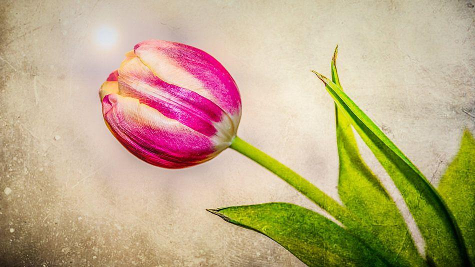 Hollandse tulp, dutch tulip