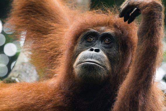 Orang-oetan in de jungle van Sumatra, Indonesië van Martijn Smeets