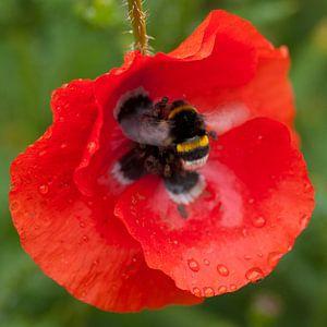 Buzzing poppy