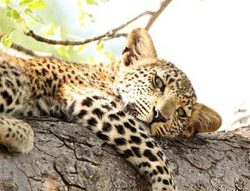 Prachtig jong luipaard luierend in een boom von Romy Wieffer