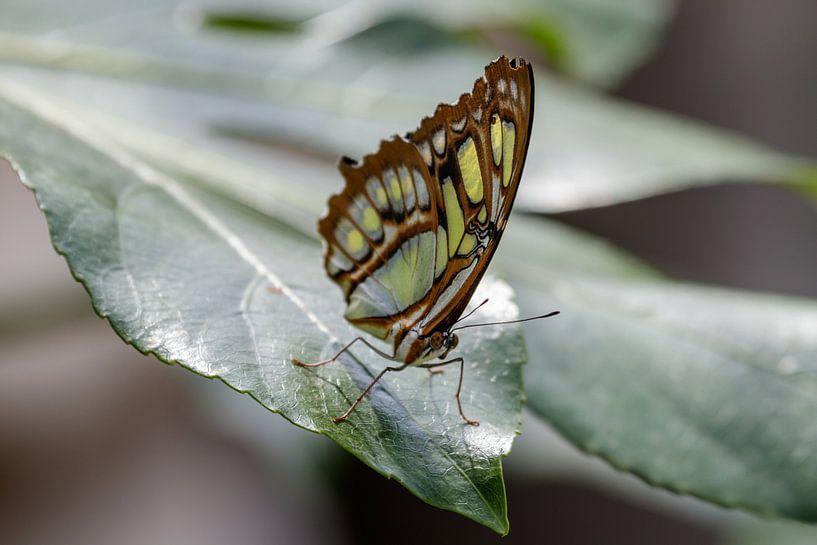 Malachit Schmetterling von Anjo ten Kate