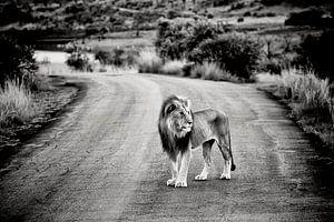 Mannetjesleeuw op zandweg in Afrika van Paul Piebinga