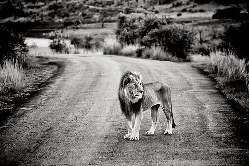 Leeuw op de weg