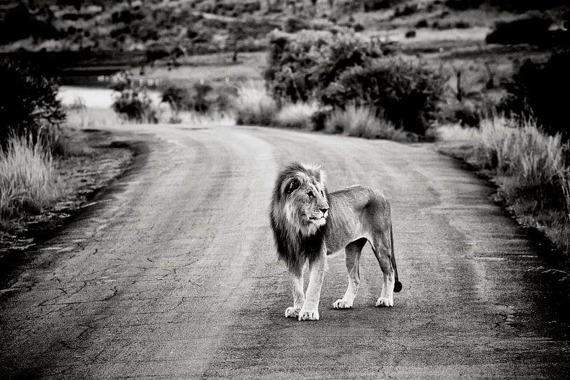 Leeuw in Afrika van Paul Piebinga