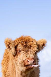 Drôle de veau des Highlanders écossais